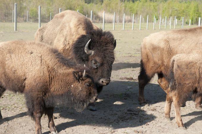 Ferme des bisons de l'Oisans