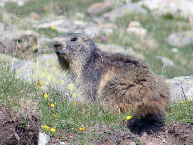 Marmotte au Lauvitel