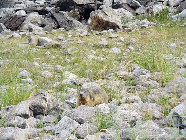 Les marmottes du Lauvitel